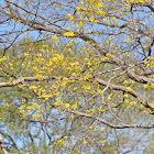 Sahino Tree