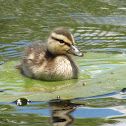 Duckling on Lily Pad