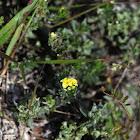 Pineland Heliotrope