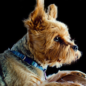 Hannah the sofa queen. by Steve Forbes - Animals - Dogs Portraits (  )