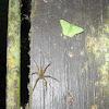 Emerald Moth + Spider