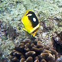 Fourspot butterfly fish