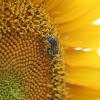 Honey Bee & Sunflower