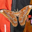 Atlas Moth (Cano Negro, Costa Rica)