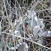 Dog-Lichen