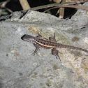 Rose-belly Spiny Lizard