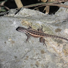 Rose-belly Spiny Lizard