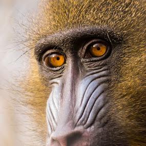 Hope by Romeo Pogacean - Animals Other Mammals ( captivity, zoo, sad, sad monkey, monkey,  )