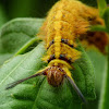Rose Myrtle Lappet Moth Caterpillar