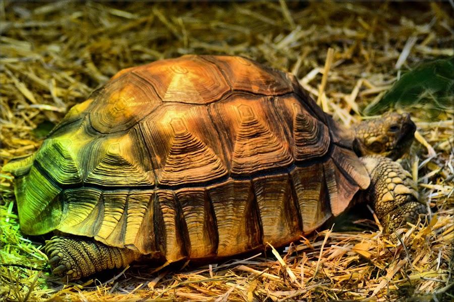 tortoise by Nic Scott - Animals Other ( tortoise, animal )