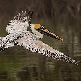 Pelican In Flight by Sandy Friedkin - Animals Birds ( florida, okeechobee, in-flight, lake, pelican, , bird, fly, flight )