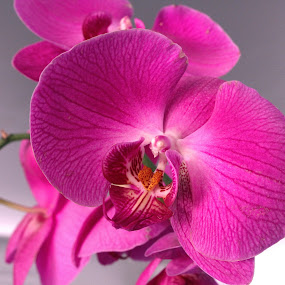 Orchids by Rita Jaber Youssef - Flowers Single Flower ( colour, orchid, vibrant, close up, flower )