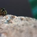 Eastern Black Swallowtail Caterpillar