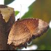 Common Palmfly