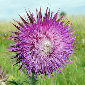 Musk Thistle on Harting Down by Cliff Oakley - Flowers Flowers in the Wild ( countryside, wild, england, nature, wildlife, garden, susse, flower )