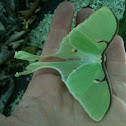 Luna Moth Female