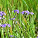 California Blue Eyed Grass