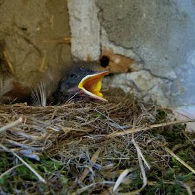 Dinner Time by Vlad Zugravel - Animals Birds ( bird, waiting, eating, baby )