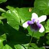 Australian Native Violet
