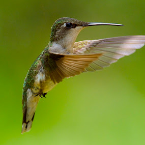 Hovering About by Roy Walter - Animals Birds ( animals, wings, wildlife, feathers, birds, hummingbirds )