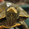 Northern Map Turtle
