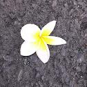 Kalachuchi Flower