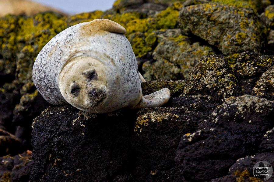 Foca grigia (gray seal) ?