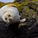 Foca grigia (gray seal) ?