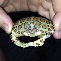 Calico crab.