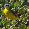 Blue-headed Yellow Wagtail;
