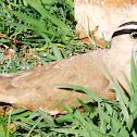 Crowned Lapwing Plover / Kroonkiewiet