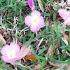 Pink Evening Primrose, Pink Ladies