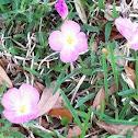 Pink Evening Primrose, Pink Ladies