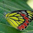 Butterflies of Western Ghats