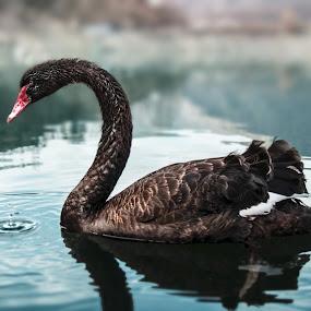 A black swan on Vacha reservoir by Kiril Krastev - Animals Birds (  )