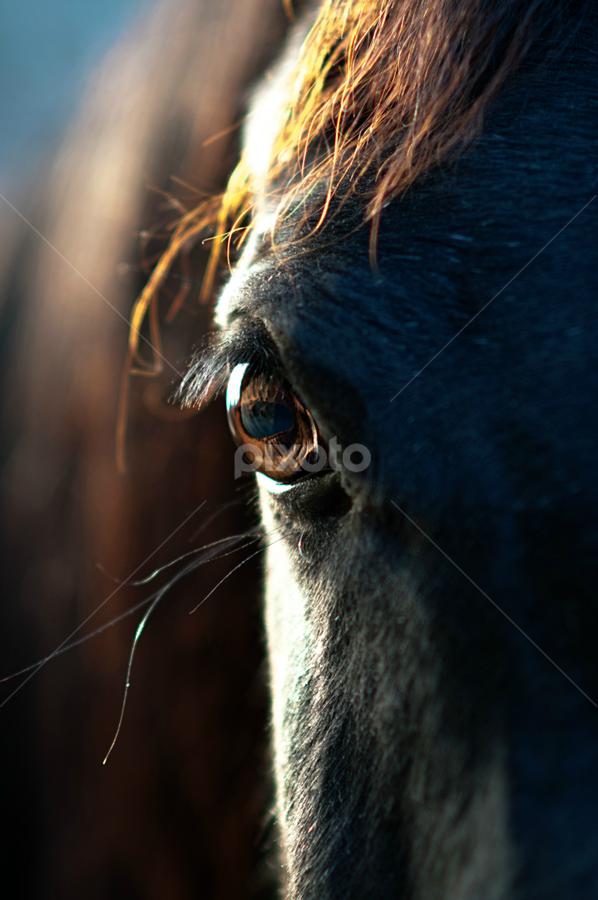 Soul Speaks by Heather Brooks - Animals Horses ( straight egyptian arabian, soul of an animal, horses, arabian horse, horse, soul, arabian, animal soul, horse eye, eye,  )