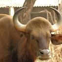 Indian Bison or Gaur