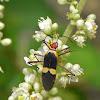 Pyrrhocoridae Bug