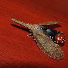 Fulgorid bug