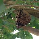 Borboleta-coruja
