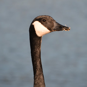 Eating Time... by Cliff Dowden - Animals Birds ( winter, canada goose, eating, pond, goose, #GARYFONGPETS, #SHOWUSYOURPETS )