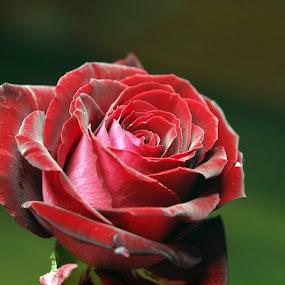 Red rose by Christine Schmidt - Flowers Single Flower ( rose, red, flower )