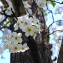 Callery Pear (Cleveland Select)