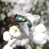 Moscarda. Blow flies