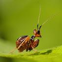 jeweled flower mantis