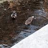 2 mallard ducks