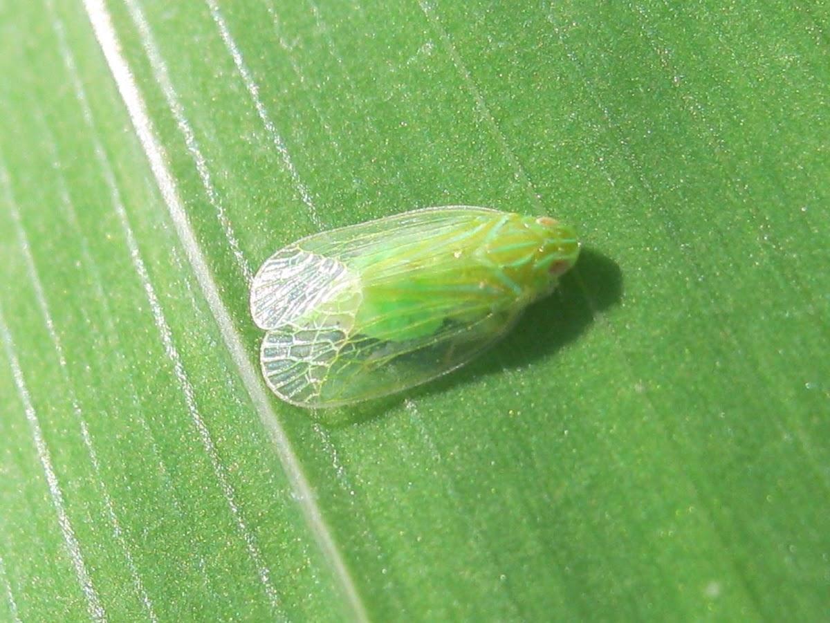 Grainy Planthopper