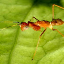 ant mimicking praying mantis