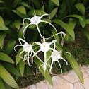 Beach Spider Lily