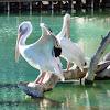 Pelícano común, Great White Pelican